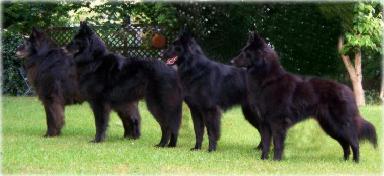 Black Gold Belgian Sheepdogs Groenendael Breeder Of